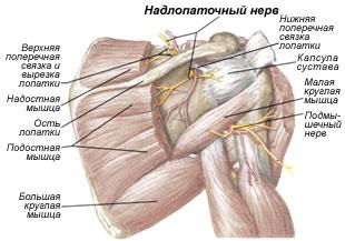 Атрофированы мышцы плечевого сустава наросты на суставе